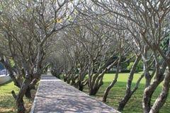 Pflasterung mit Plumeriabäumen Stockfoto