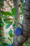 Pflaume auf dem Baum Lizenzfreies Stockbild