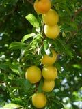 Pflaume-Baum Stockbilder