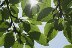 Pflaume-Baum Stockfotografie