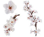 Pflaume-Baum Blumen. Lizenzfreies Stockfoto