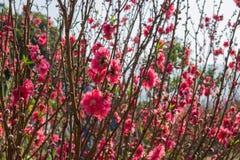 Pflaume blüht auf Baumasten mit Sonnengrellem glanz auf Blumenblumenblättern stockfotografie