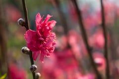 Pflaume blüht auf Baumasten mit Sonnengrellem glanz auf Blumenblumenblättern lizenzfreie stockfotos