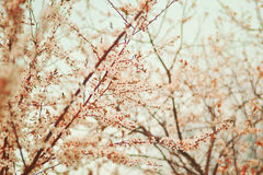 Pflaume blüht Gartenbäume Lizenzfreie Stockfotografie
