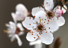 Pflaume-Blüte Lizenzfreie Stockbilder