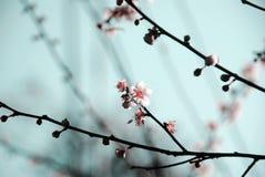Pflaume-Blüte Stockbilder