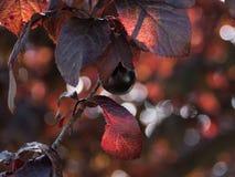 Pflaume in einem Baum Dunkelrote Blätter Stockfoto