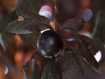 Pflaume in einem Baum Dunkelrote Blätter Stockbilder