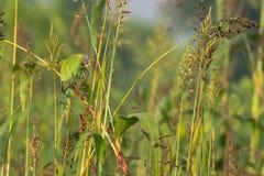 Pflaume ging Parakeet-Vogel voran Lizenzfreie Stockfotografie