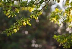 Pflaume Prunus cerasifera Lizenzfreie Stockfotos