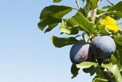 Pflaume zwei auf den Bäumen in einem Obstgarten Stockfotografie