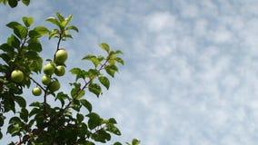 Pflaumebaum und cloudscape Stockbild