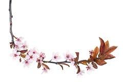 Pflaumebaumblüte Lizenzfreies Stockbild