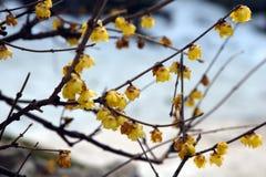 Pflaumeblüte Lizenzfreie Stockbilder