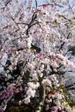 Pflaumeblüten Stockfoto