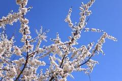 Pflaumeblüten Stockbild