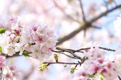 Pflaumeblumen Stockbild