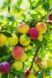 Pflaumen auf einer Niederlassung des Pflaumenbaums lizenzfreie stockfotos