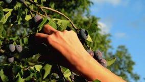 Pflaumen ausgewählt vom Baum stock video footage