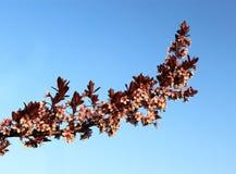 Pflaumen-Blume Stockfoto