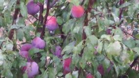 Pflaumen im Baum unter dem Regen stock video footage
