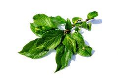 Pflaumen treiben auf der Niederlassung Blätter, die auf weißem Hintergrund lokalisiert wird stockfotos