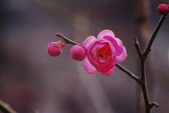Pflaumenbäume mit roten Blumen Stockfotografie