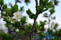 Pflaumenbaum in der Blüte Stockfotos