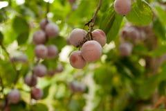 Pflaumenbaum mit saftigen Früchten Stockfotos
