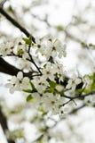 Pflaumenbaumblüten Stockbilder