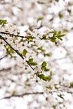 Pflaumenbaumblüten Stockfotografie