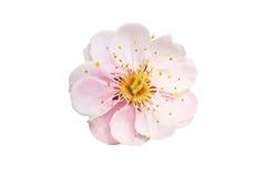 Pflaumenblüte Lizenzfreies Stockbild