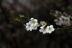 Pflaumenblüte Stockfotos