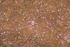 Pflaumenblüte Abfall der Blumenblätter auf Boden lizenzfreies stockfoto