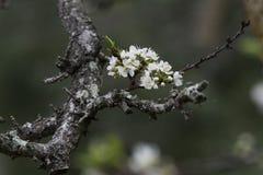 Pflaumenblüte auf den Niederlassungen Lizenzfreie Stockfotografie