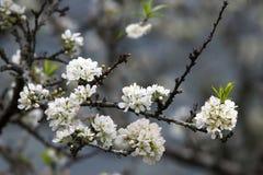 Pflaumenblüte auf den Niederlassungen Stockbilder