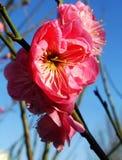 Pflaumenblüte, Blume, rote Pflaumenblüte Stockbilder