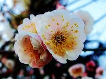 Pflaumenblüte, Blume, weiße Pflaumenblüte Stockbild