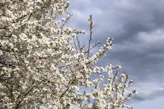 Pflaumenblüte im Frühjahr Lizenzfreies Stockfoto