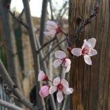 Pflaumenblüten stockfoto