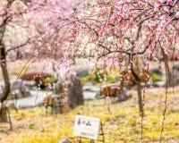 Pflaumenblüten Lizenzfreies Stockbild