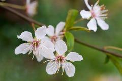 Pflaumenblüten Stockfotografie