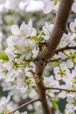 Pflaumenblüten Lizenzfreies Stockfoto