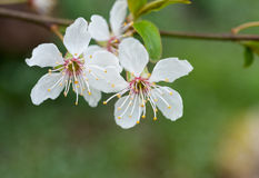 Pflaumenblüten Lizenzfreie Stockfotos