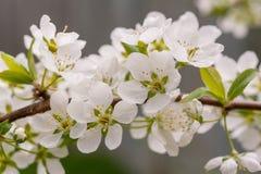 Pflaumenblüten Stockbild
