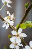Pflaumenblüten Lizenzfreie Stockbilder