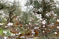 Pflaumenblüten in einem Olivenhain lizenzfreies stockfoto