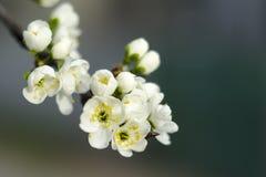 Pflaumenblüten im Vorfrühling stockbild