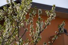 Pflaumenblüten und -pflaumen Lizenzfreies Stockbild