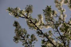 Pflaumenblüten und -pflaumen Stockfoto